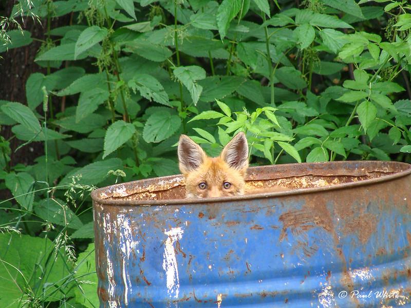 Fox in a bin :-)