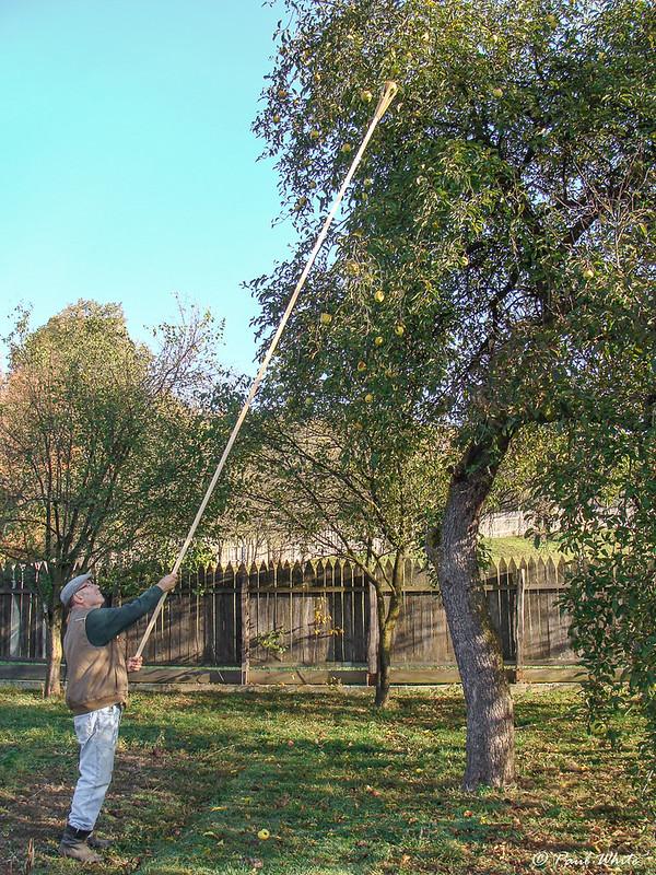 Picking apples - Transylvania