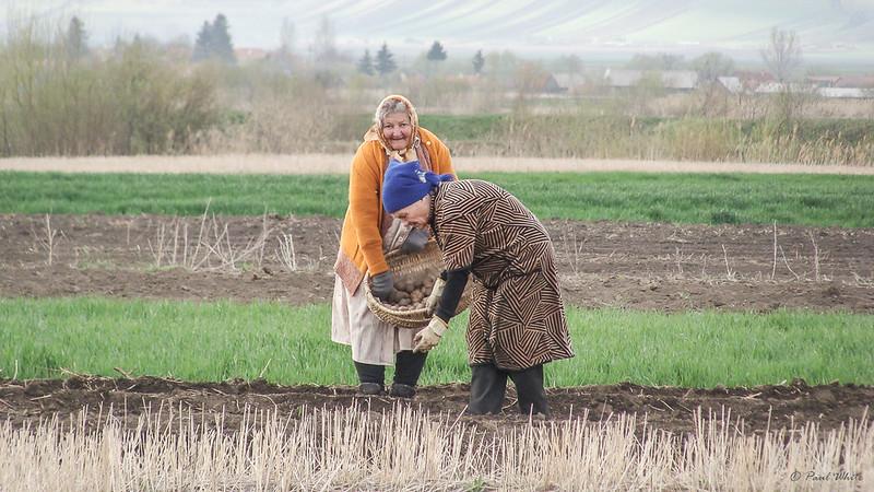 Potato planting - Transylvania