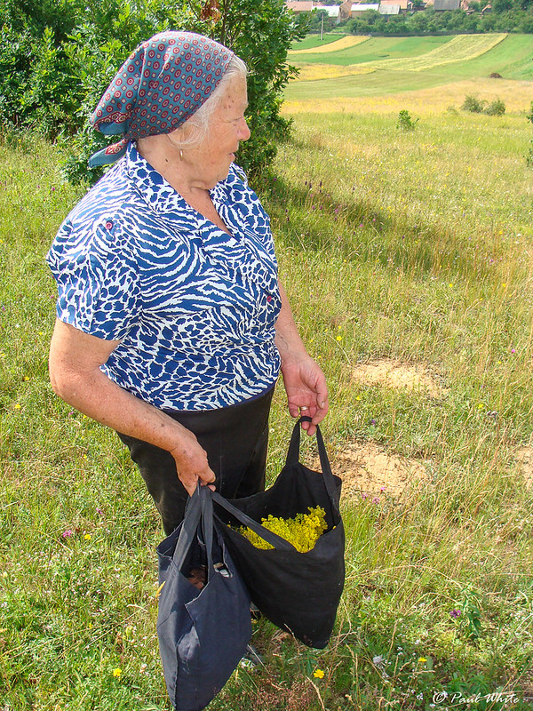 Picking wild herbs for medicinal teas