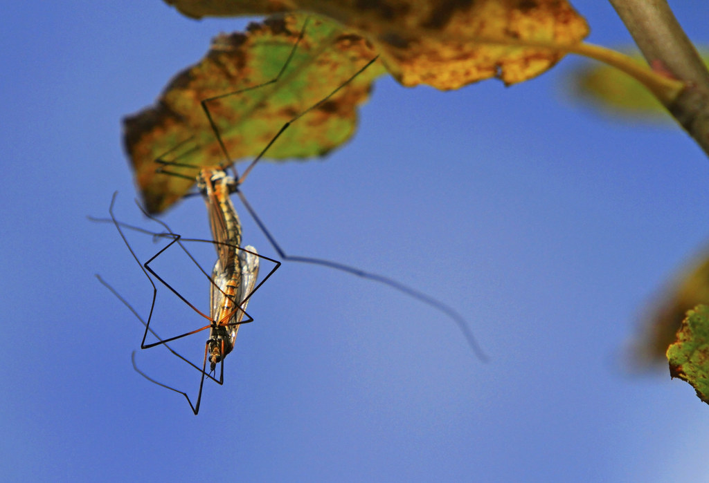 Crane Flies : Running out of time ...  ...