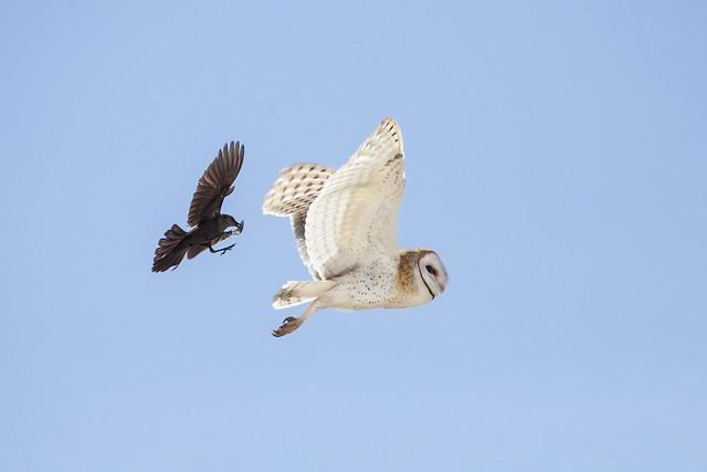 Barn Owl, Tyto alba, and Brewer's Blackbird, Euphagus carolinus