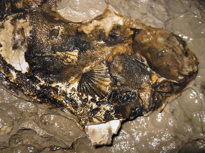 Brachiopod fossil, Garrett Mill Cave, Overton Co, TN