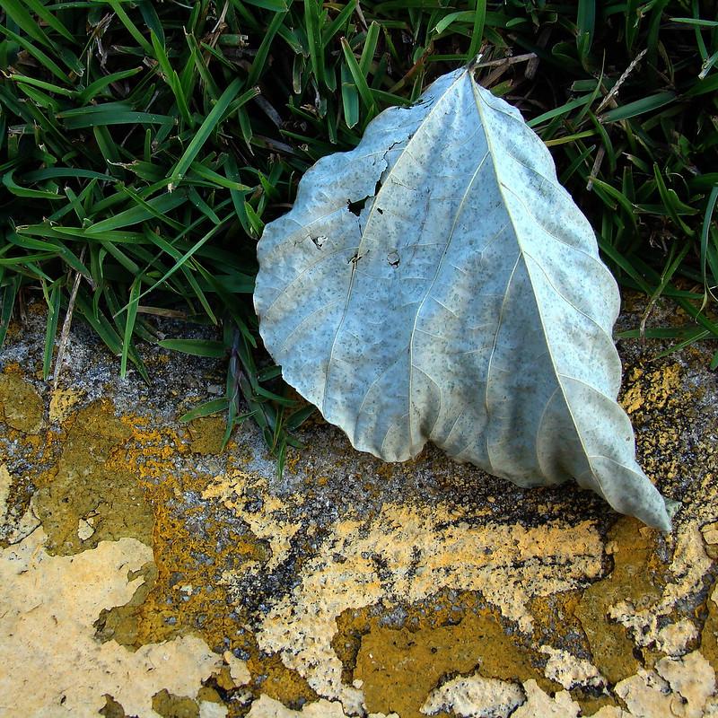 Fallen Leaf in the SBI Parking Lot