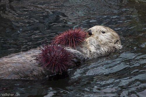 Sea Otter Eating Urchin | by neil.fisher