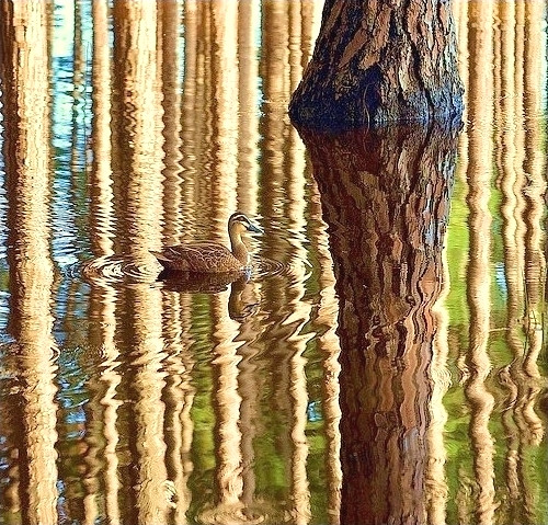 a duck wades through pine forest reflections