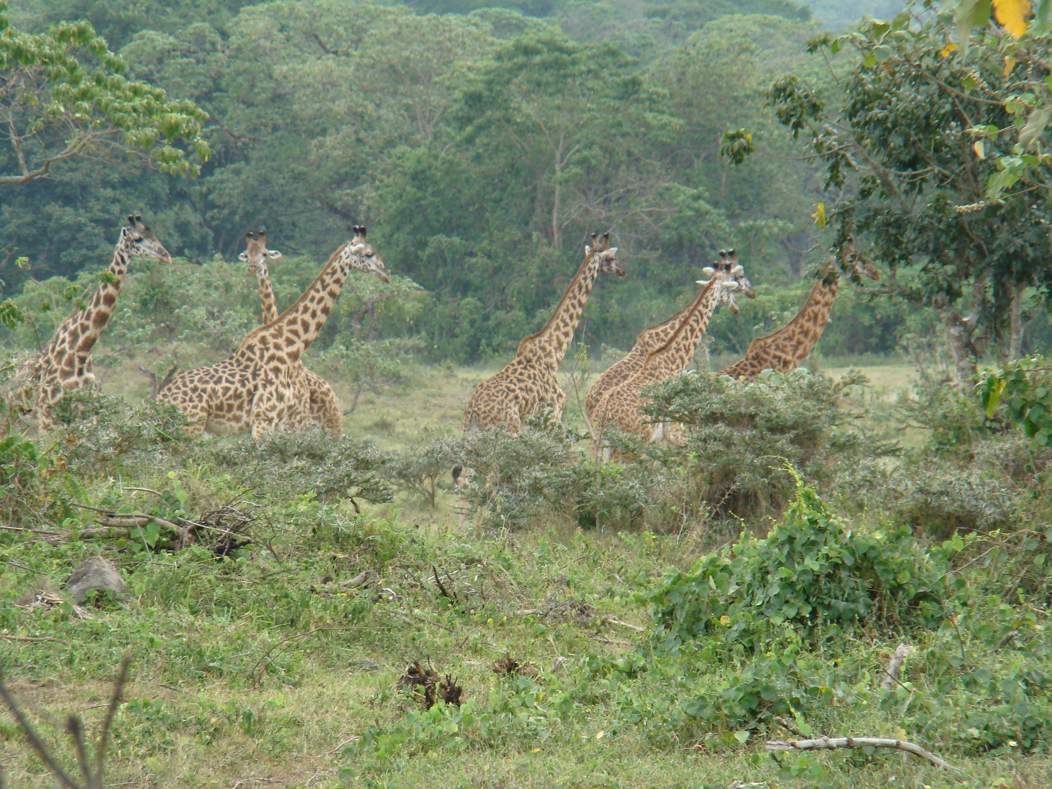 Jirafas Safari Parque Nacional Arusha Tanzania 02