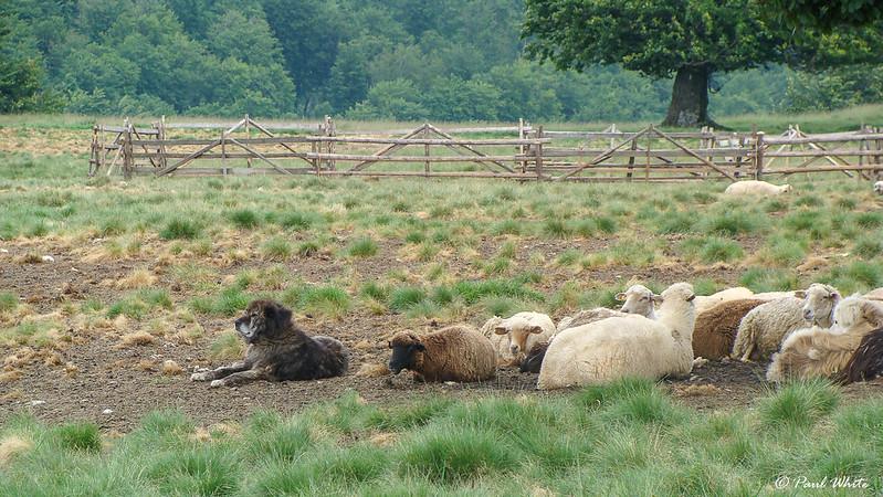 Livestock Guardian Dog - Protecting Sheep