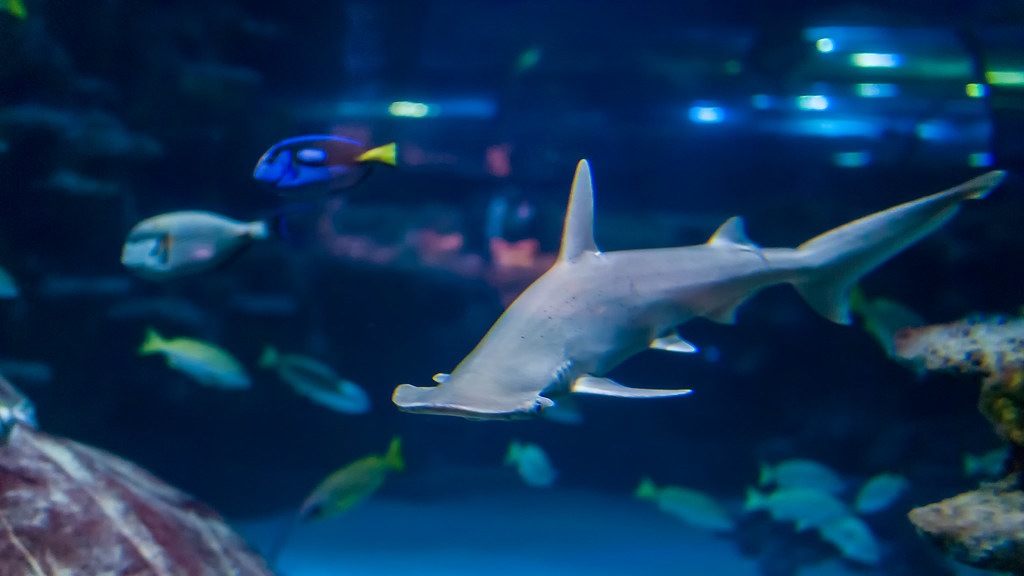 Bonnethead Shark - SEA LIFE London Aquarium