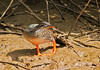 African Finfoot, Podica senegalensis, female by f_snarfel