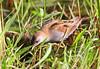 Little Crake, Zapornia parva, male by f_snarfel