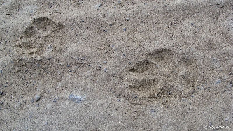 Tracking wolves in Transylvania