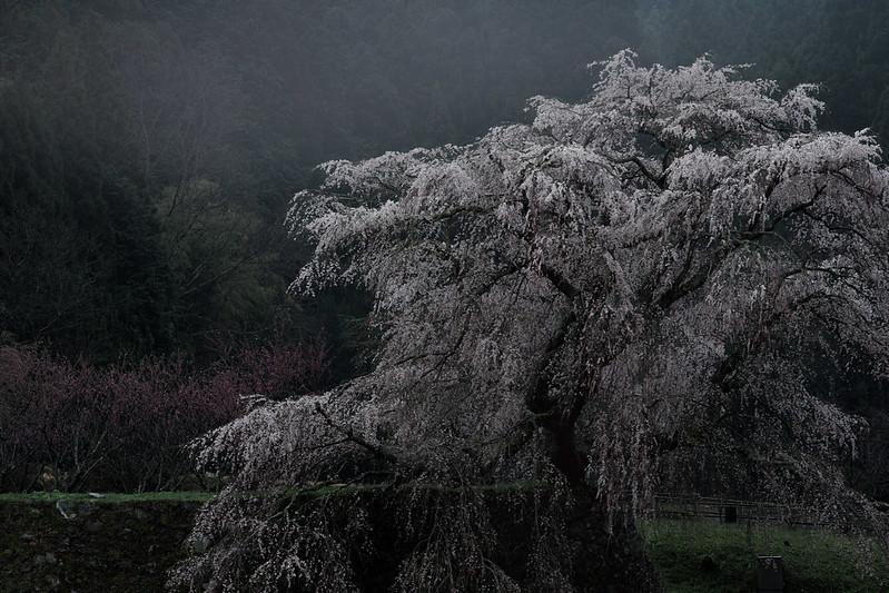 Old Cherry Tree Twilight of Rain