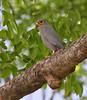Grey Kestrel, Falco ardosiaceus by f_snarfel