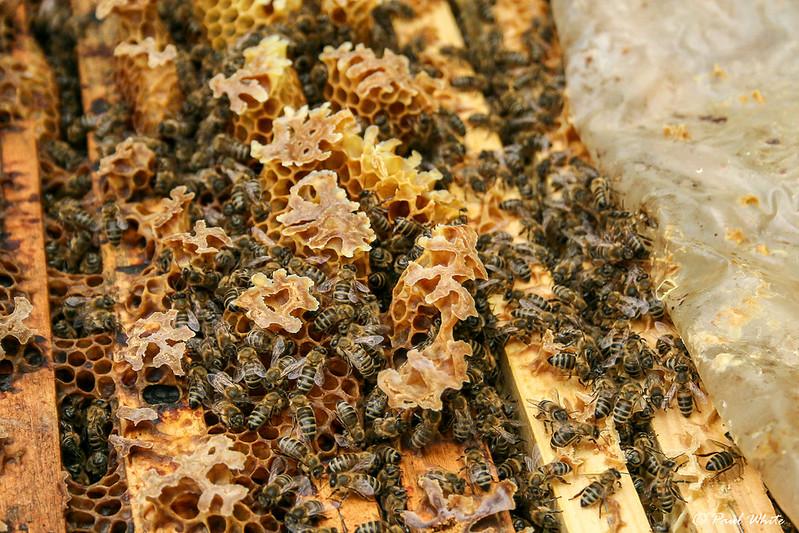 Honey bees at work in Transylvania