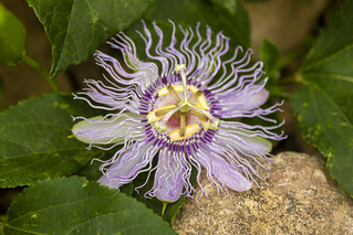 Passiflora incarnata, Spring Creek, Overton County, Tennessee