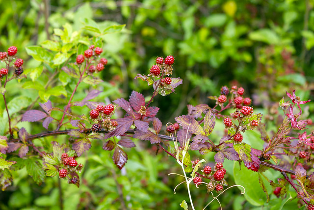 Rubus argutus, fruiting, Overton County, Tennessee 1