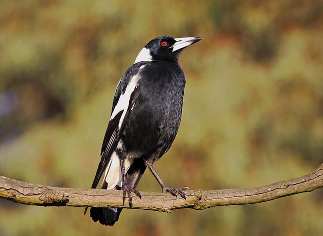 Australian Magpie : Sometimes I blink . . .