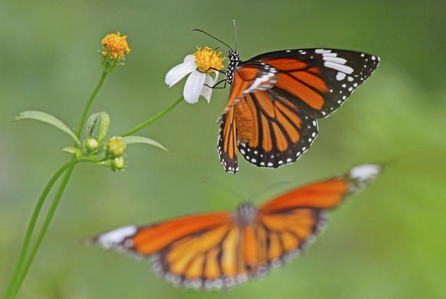 Common Tigers 虎斑蝶 : Courting . . .