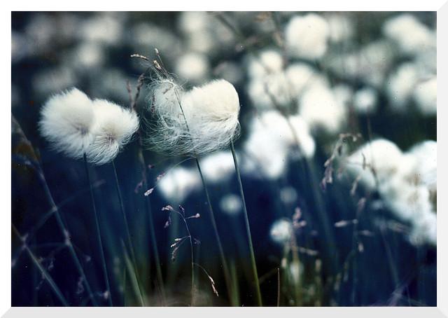 Arctic Cotton Flower near Arctic Circle - Pentax Spotmatic 35mm Film SLR