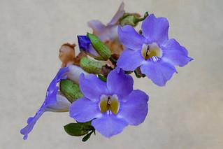 Tumbérgia-azul   (Thunbergia grandiflora)  -  Blue skyflower
