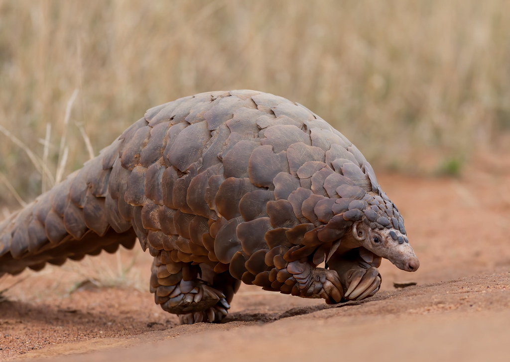 南非穿山甲 ground pangolin