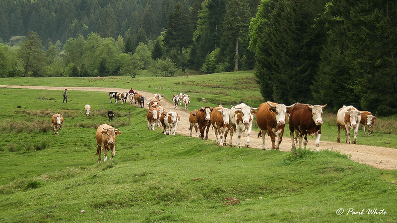 Cows returning home from inter-forest meadows [Explored]