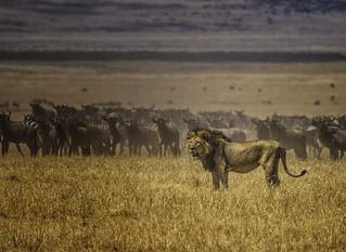 Lion - Serengeti IMG_6370