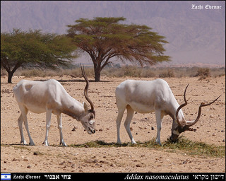Addax | by Zachi Evenor