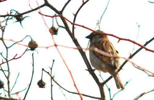 House sparrow, Passer domesticus, Gråsparv