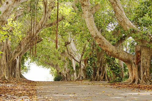road tree green island spring florida may tunnel fl banyantree bocagrande gasparillaisland canon50d banyanstreet virginiabaileyphotography