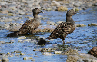 Common Eiders | by Wild Chroma