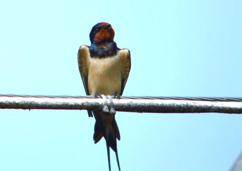 Grumpy Barn swallow, Hirundo rustica, Ladusvala