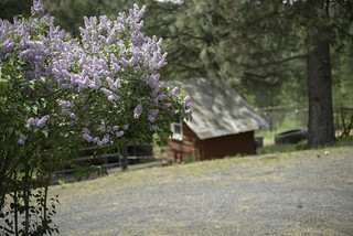 Lilacs on the little farm