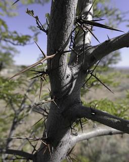 Locust trees