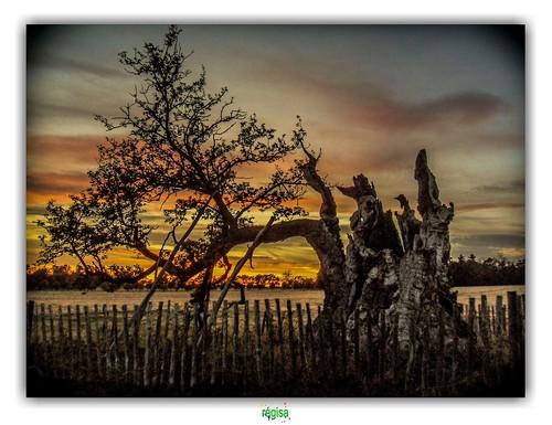 penshurst penshurstplace tree sunset couchersoleil medway arbre kent oak chêne sydneysoak england angleterre thewhitebirch