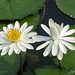 Egyptian White Water-Lily - Photo (c) 阿橋 HQ, some rights reserved (CC BY-SA)
