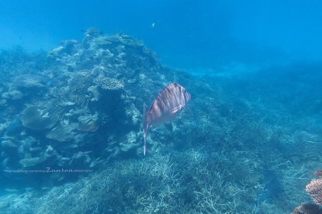 I swam with Lethrinus nebulosus. :-)
