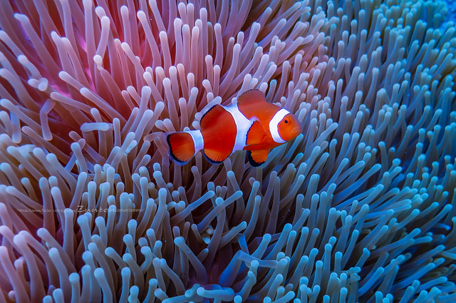 Ocellaris clownfish in there Comfortable house(Soft coral)