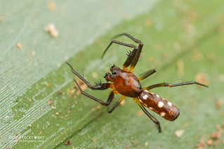 Thorn orb weaver spider (Micrathena funebris) - DSC_0437
