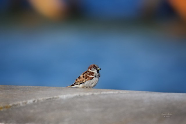 Pardal (Sparrow)