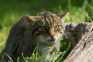 Scottish Wildcat   by Stephen Childs