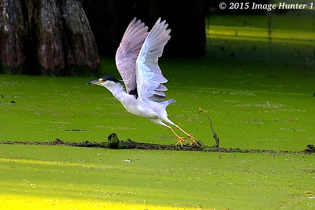 Black-crowned Night Heron Liftoff - Lake Martin, Louisiana