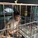 Baby macaque in cage - Jatinegara Market, Jakarta, Java, Indonesia