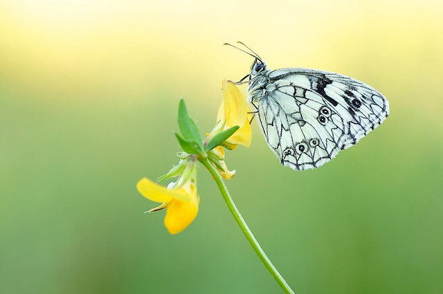 Yellow Sky Butterfly...