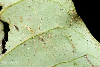 Daddy-long-legs spider (Metagonia cf. maldonado) - DSC_2999