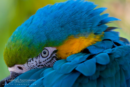 Blue and Yellow Macaw | by J.P. Lawrence Photography