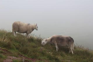 Sheep near Corn Du   by pluralzed