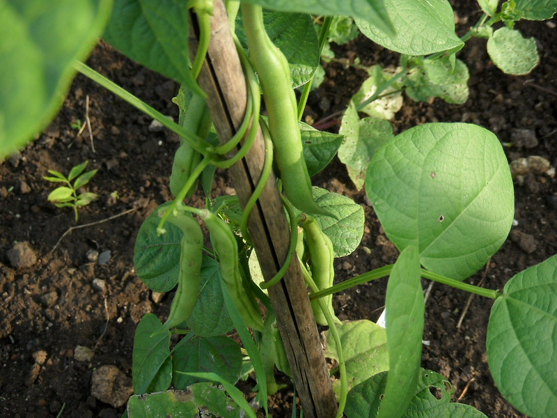 French beans support