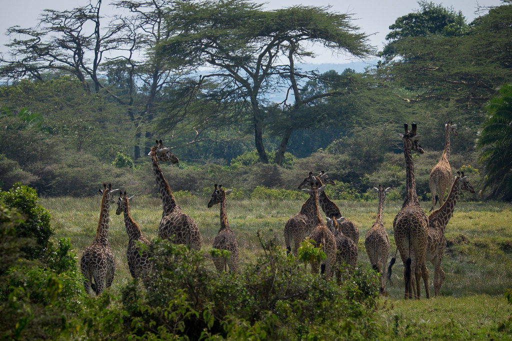 Giraffenherde beim Abstieg - 4. Tag Mount Meru Tour, 2016